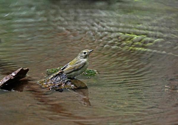 キビタキ雌水浴び5 DSP_0423