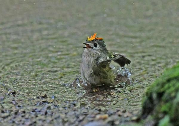 キクイタダキ水浴び1 DSP_6438