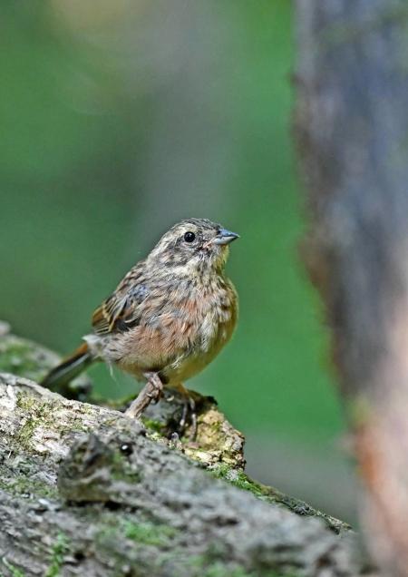 ホオジロ幼鳥1 DSQ_5724