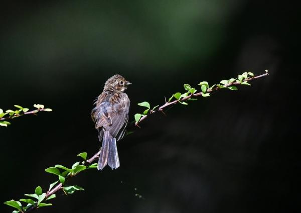 ホオジロ幼鳥2 DSP_3867