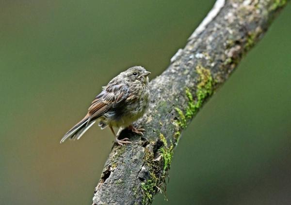 ホオジロ幼鳥3 DSP_0155