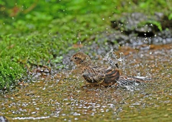 ホオジロ幼鳥4水浴び DSP_9860