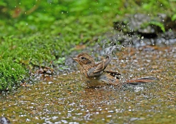 ホオジロ幼鳥4水浴び DSP_9861