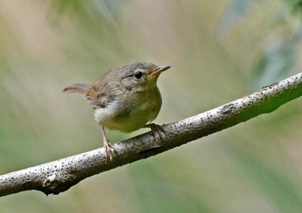 ウグイス幼鳥1 DSP_9920
