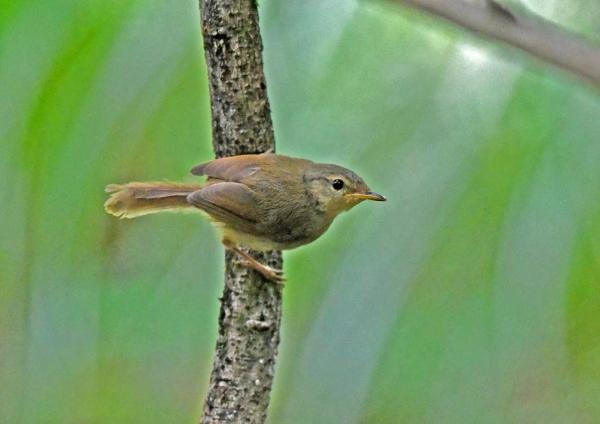 ウグイス幼鳥2 DSP_0127