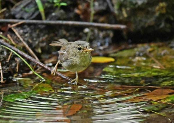 ウグイス幼鳥3水浴び DSP_0055