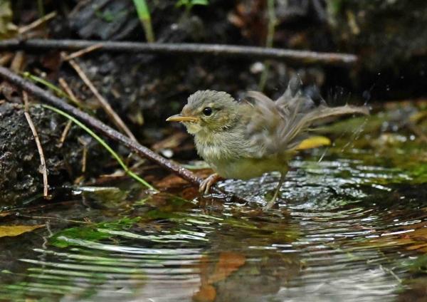 ウグイス幼鳥4水浴び DSP_9992