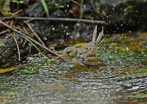 ウグイス幼鳥5水浴び DSP_0062