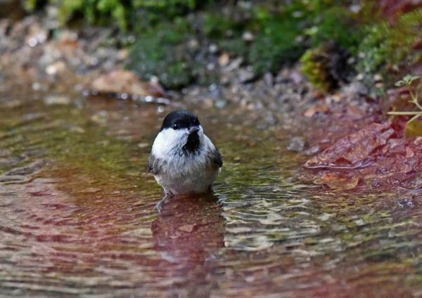 7コガラ水浴び DSS_1827