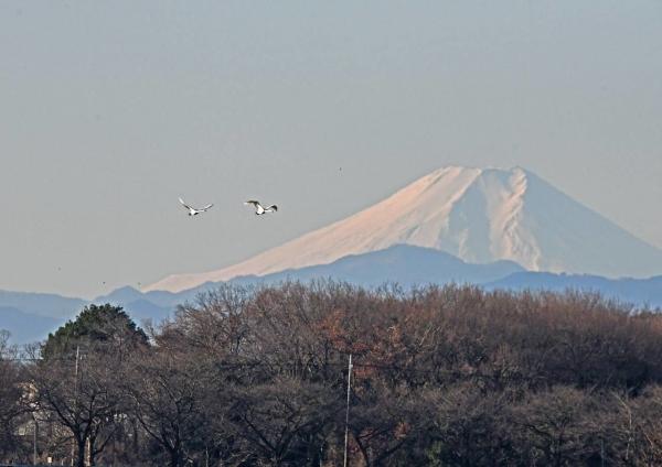 ハクチョウと富士山 DSU_0502