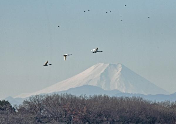 ハクチョウと富士山 DSU_0785