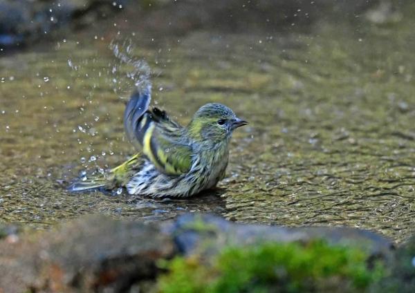 マヒワ水浴び1 DST_3128