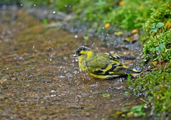 マヒワ水浴び4 DSS_4482