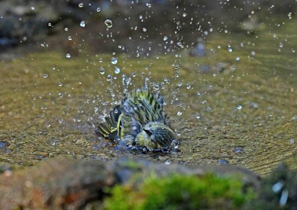 マヒワ水浴び5 DST_3228