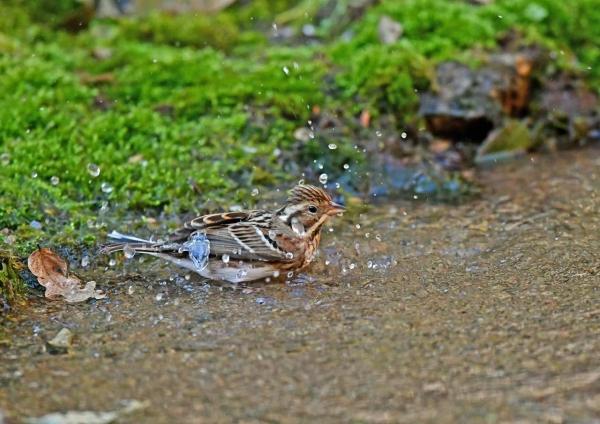 カシラダカ水浴び4 DSS_6769