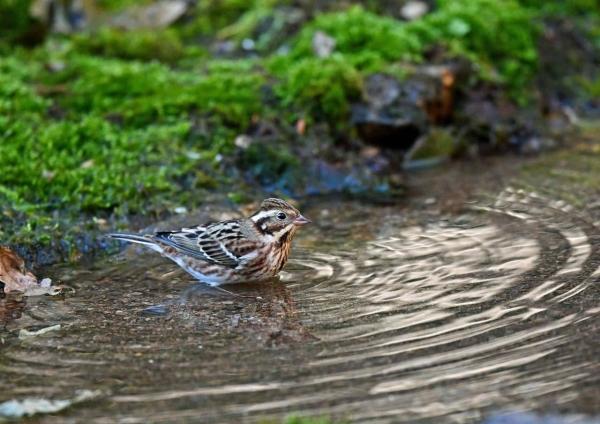 カシラダカ水浴び5 DSS_6755