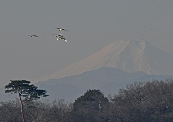 富士山とハクチョウ DSV_0792