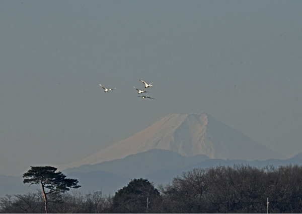 富士山とハクチョウ DSV_0797