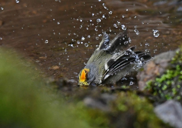 キクイタダキが水浴び2 DSU_6858