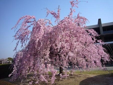 80 トヨタ本社 桜