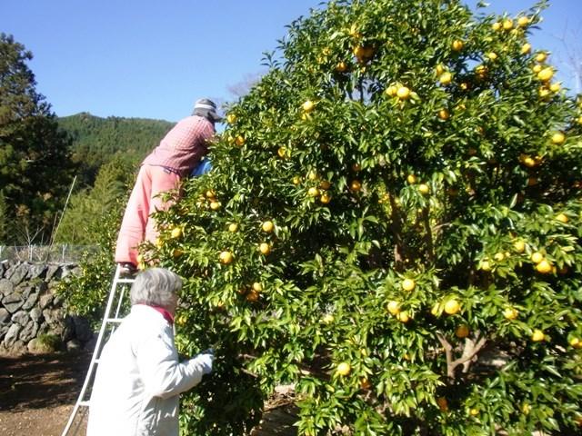 12柚子畑