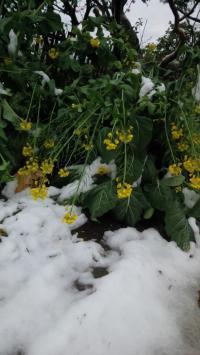 雪・菜の花