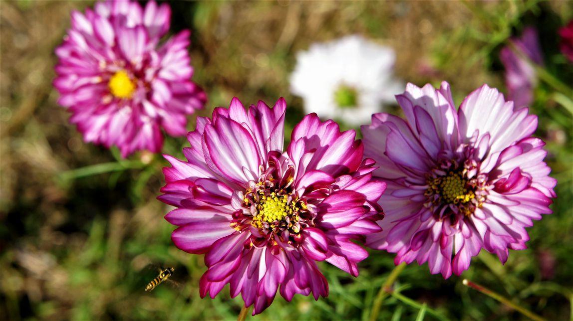 ⑦秋桜と蜂