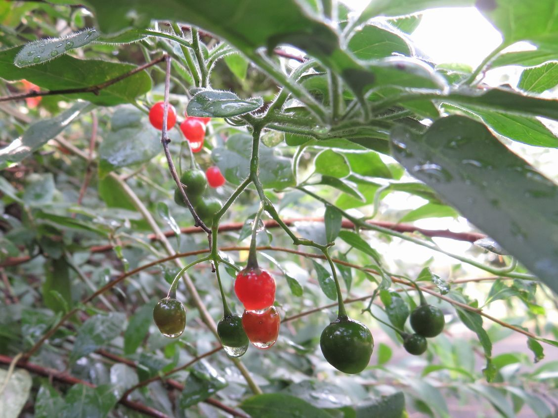 「紅と緑の滴 (ヒヨドリジョウゴの実)」 万博外周