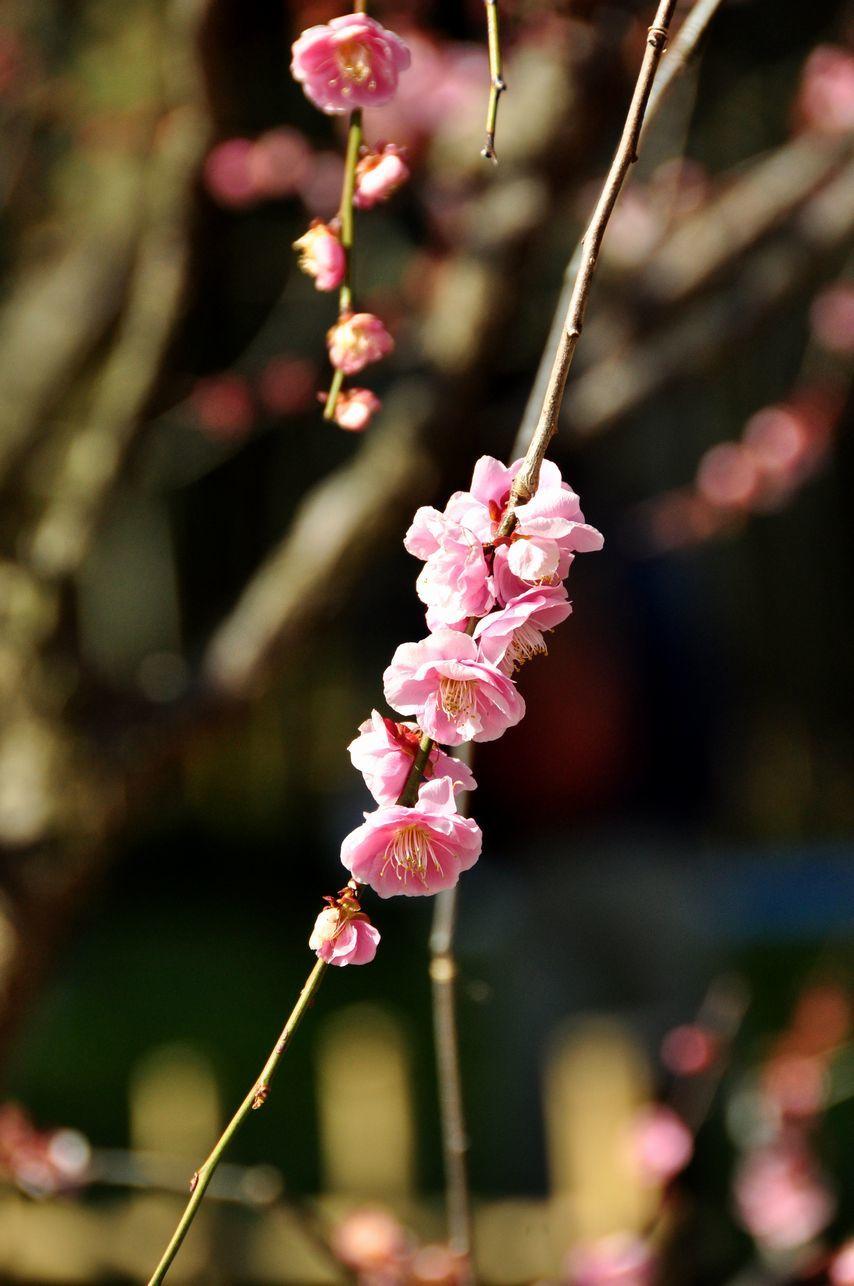⑥枝垂れ梅