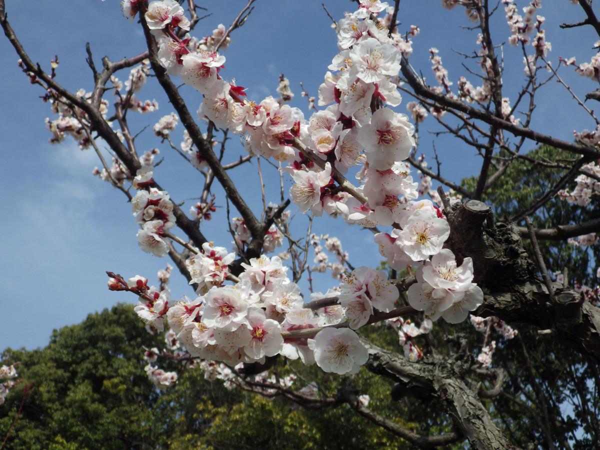 ⑦春の香り