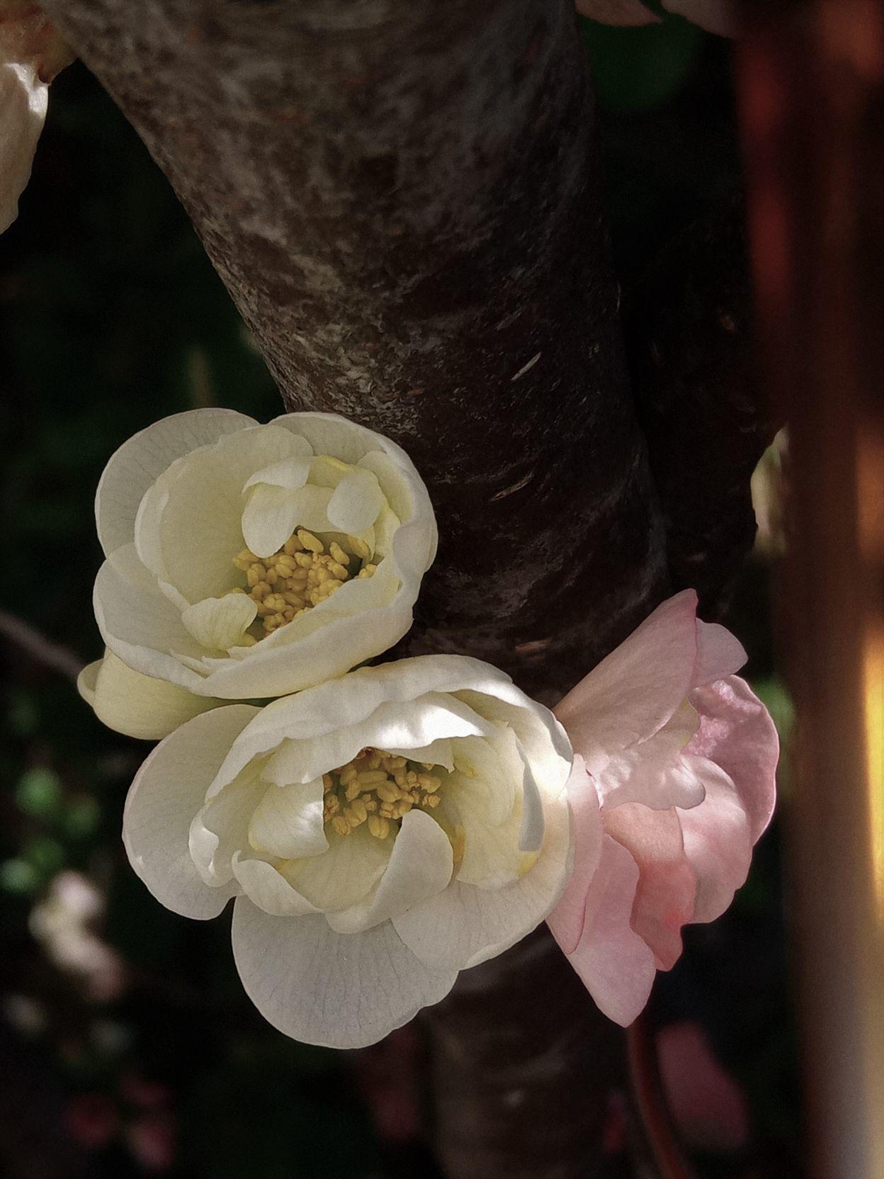 ⑮「可憐に咲くボケの花」