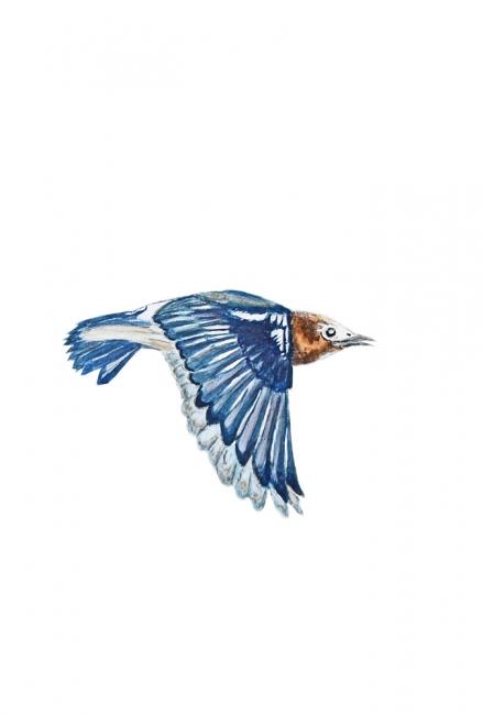 16529-コムクドリ 飛翔