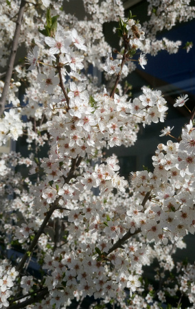 20200316桜1