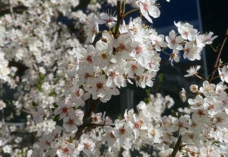20200316桜2